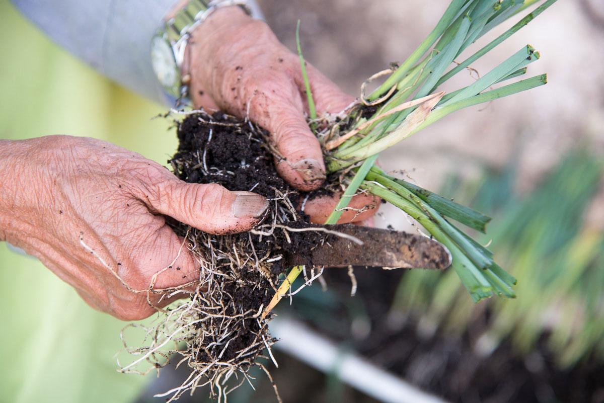 Pflanze mit Wurzel in Händen